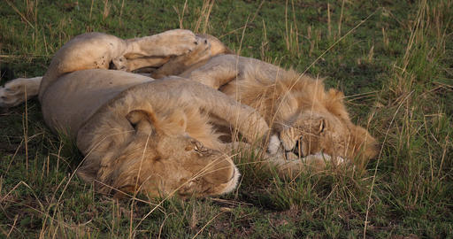 African Lion, panthera leo, Males Sleeping, Masai Mara Park in Kenya, Real Time 4K Live Action
