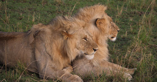 African Lion, panthera leo, Young Males, Masai Mara Park in Kenya, Real Time 4K Live Action