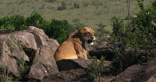 African Lion, panthera leo, Female standing on Rocks, Masai Mara Park in Kenya, Real Time 4K Live Action