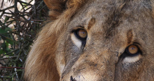 African Lion, panthera leo, Portrait of Male, Masai Mara Park in Kenya, Real Time 4K Live Action