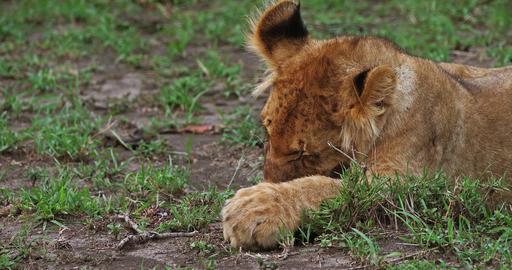 African Lion, panthera leo, Cub licking its Paws, Masai Mara Park in Kenya, Real Time 4K Live Action
