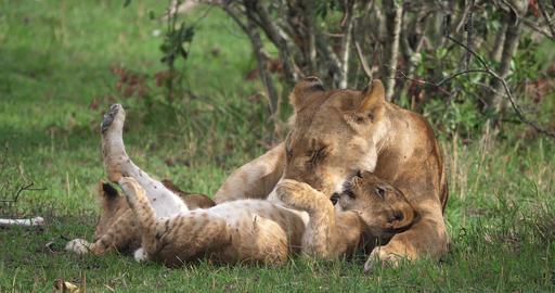 African Lion, panthera leo, Mother licking its Cub, Masai Mara Park in Kenya, Real Time 4K Live Action