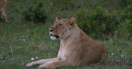 African Lion, panthera leo, Female Yawning, Masai Mara Park in Kenya, Real Time 4K Live Action
