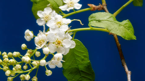 Bird-cherry flower blooming time lapse Live Action