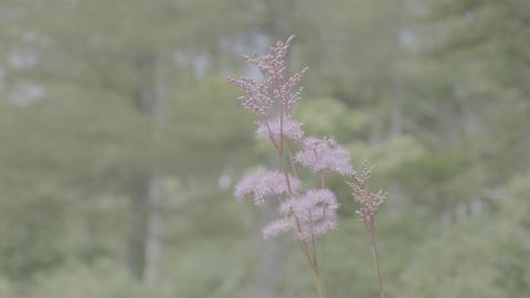 Spiraea japonica Live Action