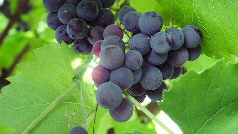 Ripe Dark Purple Grapes on Vines Tree in Sunlight Footage