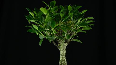 Bonsai Tree Stock Video Footage