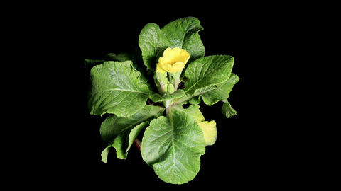 Flowering yellow primula on the black background (Primula) Stock Video Footage
