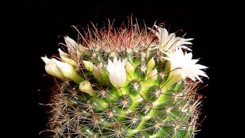 Time-lapse Opening white Mammillaria (Mammillaria Willdii) Stock Video Footage
