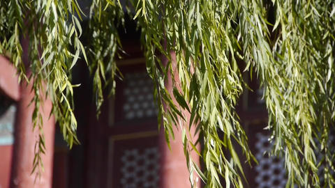 willow shaking in wind at the Forbidden City.Chinese... Stock Video Footage