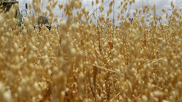 Harvesting an Oats Crop on an Australian Farm Stock Video Footage