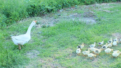 domestic goslings with goose on the grass Live Action