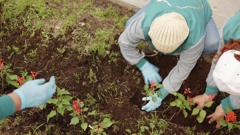 Female gardener planting flowers in ground on flower bed at summer day. Woman Live Action