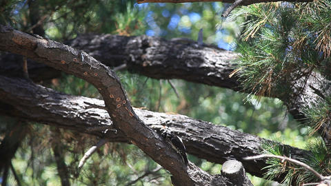 Fledgling woodpecker fed by parent in pine tree Footage