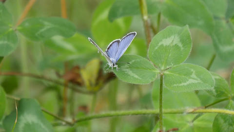 short-tailed blue or tailed Cupid Live Action