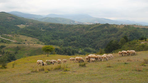 Sheep grazing in grassy mountains. Natural organic nutrition sheep on mountain landscape background Live Action