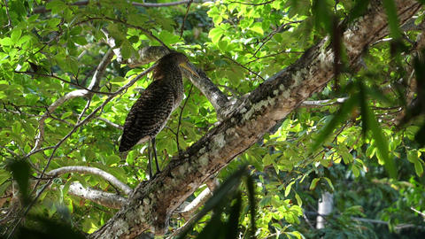 Exotic Tropical Bare-throated Tiger Heron Bird in the Rain Forest Live Action