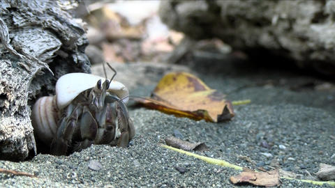 Hermit crab transporting the shell of a sea shell in the Caribbean Live Action