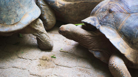 Aldabra giant tortoise in nature. Relationship Live Action