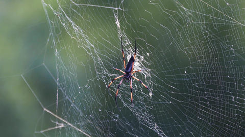 Giant wood spider on the web Live Action