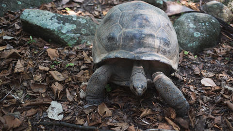Aldabra giant tortoise in nature comes to camera Live Action