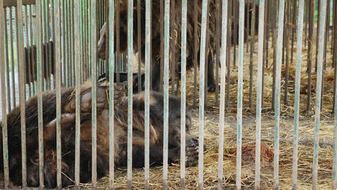 Brown bear lies in steel cage hiding behind its paw Live Action