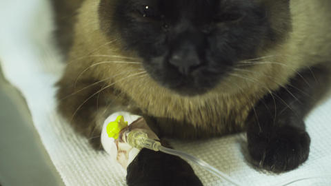Cat with a catheter in a vet at the clinic Live Action