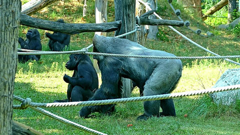 Gorilla Gorillas in Zoo HD Video Footage for your Project Footage