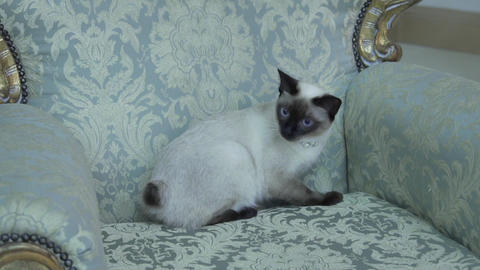 Beautiful rare breed of cat Mekongsky Bobtail female pet cat without tail sits Live Action
