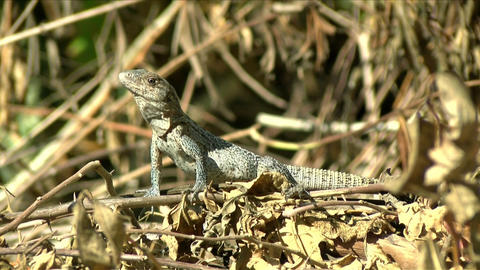 American tropical grey Lizard observing the environment in the Caribbean Live Action