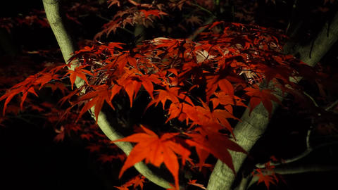 美しい真っ赤な紅葉 ライブ動画