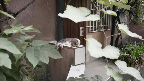 A lazy cat sleeps under bunches of grapes Live Action