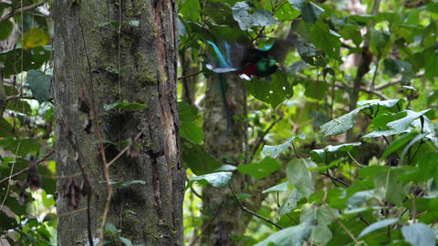 Colorful male quetzal flying in slow motion Live Action