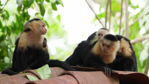 Capuchin tropical family monkeys in the tropics Live Action
