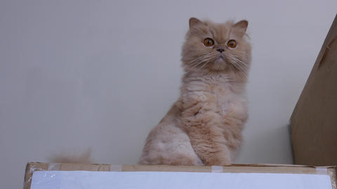 Motion of Persian cat sitting on the box and watching at people with 4k resolution Footage