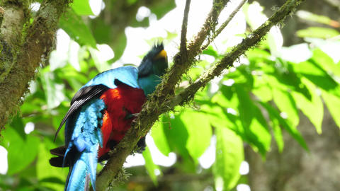 Colorful male quetzal in his natural habitat in the forest Live Action