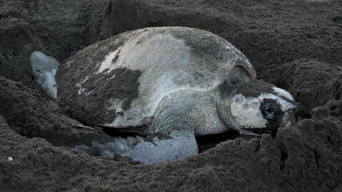 Atlantic Ridley Sea Turtle Spawning on a Tropical Beach Live Action