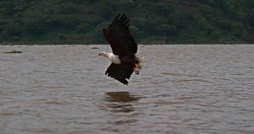 African Fish-Eagle, haliaeetus vocifer, Adult in flight, Fish in Claws, Fishing at Baringo Lake, Live Action