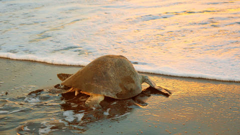 Atlantic Ridley Sea Turtle Back to the Sea After Spawning at Sunset Live Action