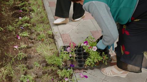 Gardener hands planting flower seedlings in soil at spring flower bed. Female Live Action