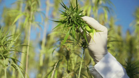 Male hand in glove checking big industrial Hemp plant in hot summer day Footage