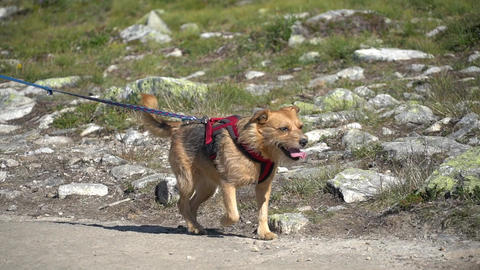 Norway. hikers with dogs on the Trolltunga. Dog hiking in Norway. hiking Live Action