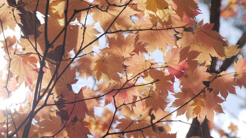 beautiful orange maple leaves tree blowing in the wind with sunlight in autumn Live Action