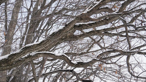 Snow falling with frost covered branches tree in winter, slow motion Live Action