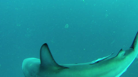 Baited dive with Blacktip Sharks Footage