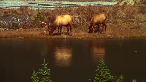 View of The Lake in The Canadian Mountains. Deer Walk by the Lake Footage