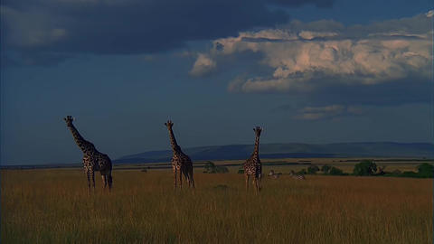 Three Giraffe Walk on The Savannah Footage