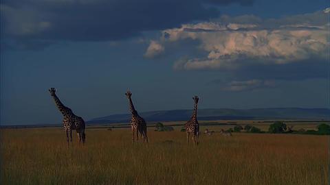 Three Giraffe Walk on The Savannah Footage