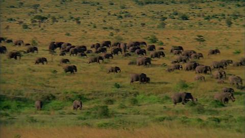 Herd of Elephants Walking in Savanna Footage