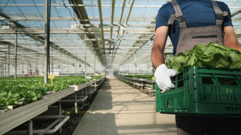 Agriculture worker carry a box of green salad in greenhouse Footage